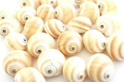 """24 Beautiful Natica Moon Shells Hermit Crab Small 1/2-3/4"""" opening (D-shaped)"""