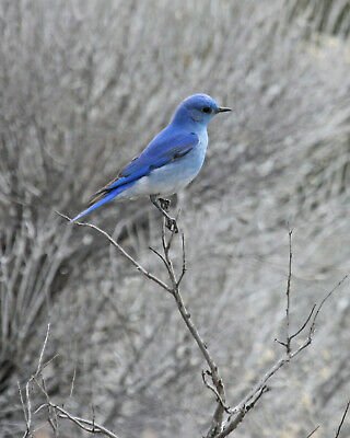 Blue Bird 8X10 Glossy Photo Picture Image #7