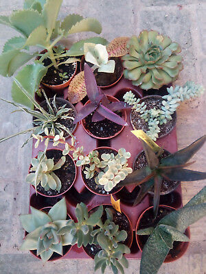 Lot of 12 Plants Succulents of Collection in 8' 5 CMS Tray Assortment