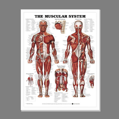 (Framed) Anatomy Poster (72X57Cm) Anatomical Chart Human Body System Educational