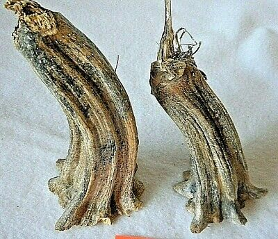 """2 X Large Jumbo Pumpkin Stem 3"""" by 7"""" Heat Treated, Clean, Ready to Use P 19"""
