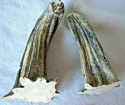 """2 X Large Jumbo Pumpkin Stem 3"""" by 6"""" Heat Treated, Clean, Ready to Use P 21"""