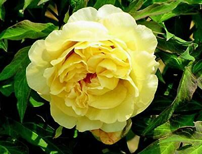 Yellow Peony Flower Roots Perennial Impressive Resistant Fragrant Bonsai Plants Seeds & Bulbs