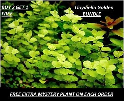 Golden Creeping Jenny Bunch Lloydiella Golden Live Aquarium Plants BUY2GET1FREE