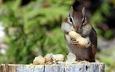 Chipmunk Eating 8X10 Glossy Photo Picture Image #2