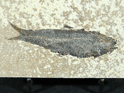 A 100% Natural 50 Million Year Old Knightia Fish Fossil From Wyoming! 226gr e