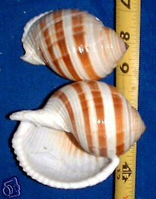 "1 REAL Tonna Selacosa  Sulcosa 4"" +  XLARGE Hermit Crab Craft Display Shell"