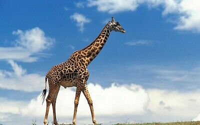 Giraffe 8X10 Glossy Photo Picture