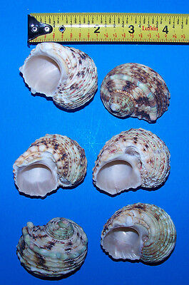 6 Silver mouth TURBO hermit crab shells CRAFTS FISH TANK WEDDING ITEM # 1049-6