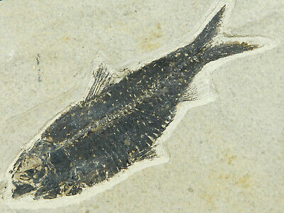 A Very Well Preserved 50 Million Year Old Fish Fossil From Wyoming! 704gr  e