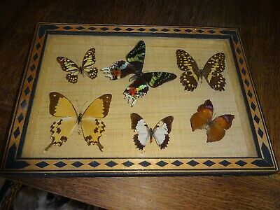 Entomologie - Cadre 6 Papillons  - Collection Of Buterfly