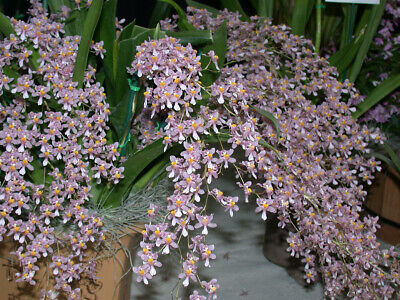 ORCHIDS Plant Species  Oncidium ornithorhynchum with bloom FS