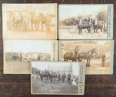 5x ANTIQUE VICTORIAN CABINET CARDS - CLYDESDALE, HEAVY HORSE HARNESS, COW