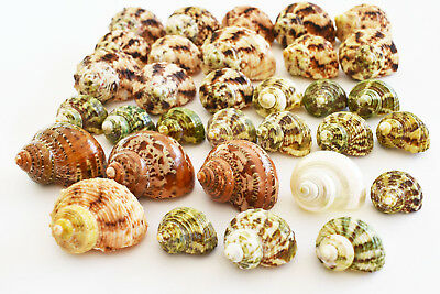 "Set of 30 Select Turbo Hermit Crab Shells Lot 3/4""-2"" (opening 5/8""-1"")  Medium"