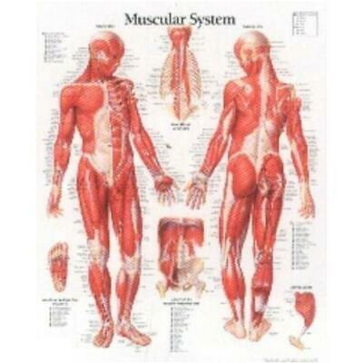 Muscular System With Male Figure Laminated Poster by Scientific Publishing (a...