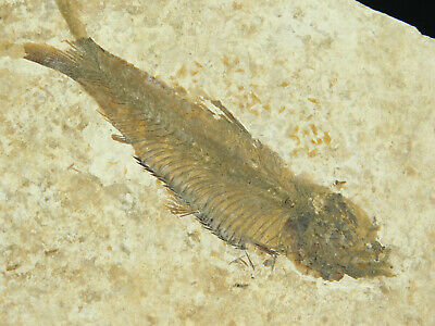 A 50 Million Year Old Restored Knightia Fish Fossil From Wyoming! 93.6gr
