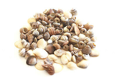 "200 + Tiny Indian Ocean Shell Mix Mini Shells 1/4"" Seashells Crafts Beach Decor"