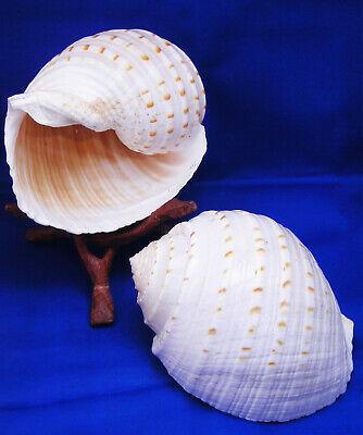 "2 Beautiful Tonna Tesselata Spotted Tun Shell Hermit Crab Natural 4-5"" X-Large"
