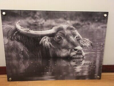 West Midlands Safari Park Water Buffalo Print Mounted On Perspex With Fixings