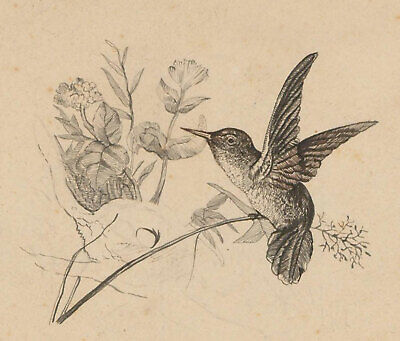 Late 19th Century Pen and Ink Drawing - Hummingbird & Flowers