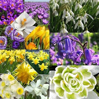Spring Flowering Bulbs Collection Snowdrops Bluebells Mini Daffodils Crocus