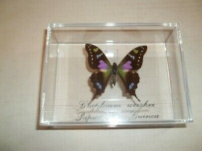Purple Butterfly Graphium Weiskei From Papau, New Guinea Mounted In Case. Sale