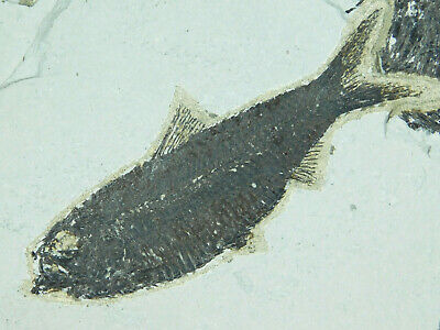A Very Well Preserved 50 Million Year Old Fossil Fish Fossil Wyoming! 532gr  e