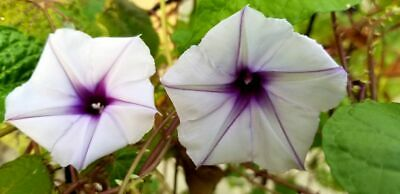 High John the Conqueror Seeds Ipomoea jalapa 10 Fresh seeds Morning Glory purga