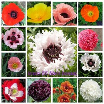 100Pcs Poppy Flower Seeds Papaver Rare 20 Kinds Perennial Annual Garden Plants