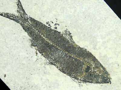 A 100% Natural 50 Million Year Old Knightia Fish Fossil From Wyoming! 484gr e