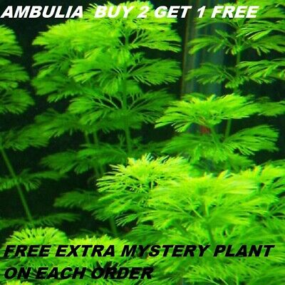 Ambulia Limnophila sessiliflora plants Fresh Live Aquarium Plants BUY2GET1FREE