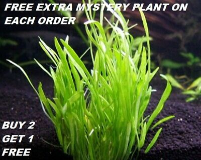 Micro Sword Lilaeopsis Novaezelandiae Bunch Live Aquarium Plants BUY2GET1FREE