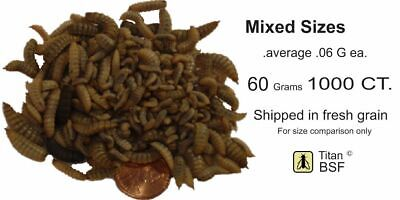 LIVE Black Soldier Fly Larvae grain fed  indoors WASHED 1000  MIXED SIze  (60G)