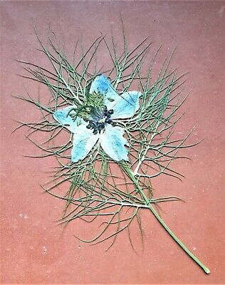 Lovely pressed and dried Blue Nigella (also known as Love-In-A-Mist)