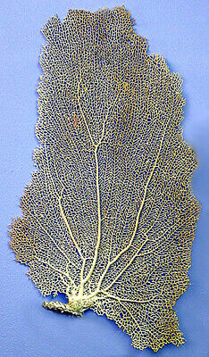"""Real Dried Sea Fan Coral Sprayed/Painted White 9"""" X 16"""" (Pictured)"""