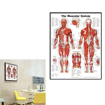 Muscular System Wall Chart Lifelike Poster Learning Muscle Anatomy Chart ZHF