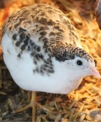 15++ RARE & New Mutation Button Quail  Hatching Eggs NPIP & AI