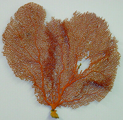 """Natural Dried Red/Orange Sea Fan Coral 14"""" X 13"""" (Pictured)"""