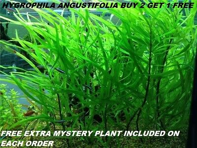 BUY 2 Get 1 FREE Hygrophila Angustifolia Fish Tank Plants Aquarium Plants Easy