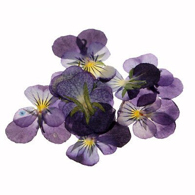 12x Pressed Real Violet Flower Dried Flowers for DIY Ornament Jewelry Craft