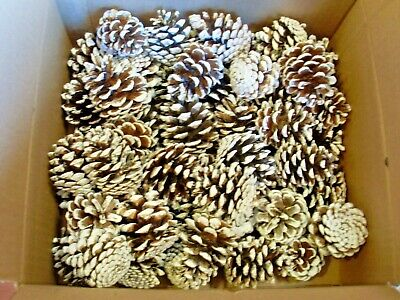 Natural Red Pine Cones With Snow Accent 45+ Bulk Cones