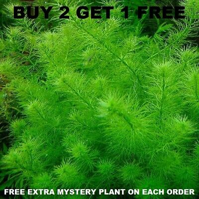 MYRIO FILIGREE BUY 2 GET 1 FREE planted tank aquarium live plant aquascaping