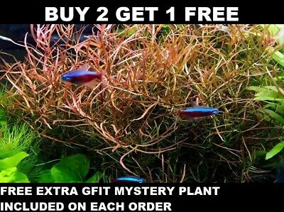 Ludwigia Arcuata Needle Leaf Repens Live Aquarium Plants Bunch BUY2GET1FREE
