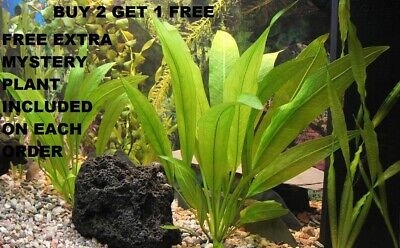 Amazon Sword - Echinodorus Bleheri Beginner Live Aquarium Plants BUY2GET1FREE*