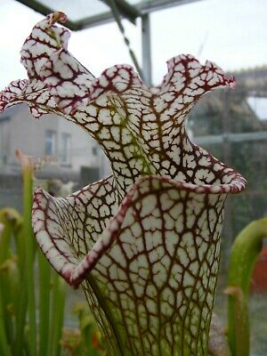 "Carnivorous Plant - Sarracenia leucophylla ""bocaza""  red/white, giant form IS."