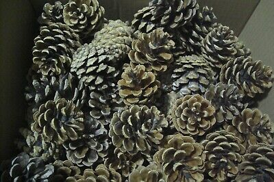 50 Pine Cones For Crafts  (2)