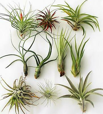 Tillandsia Mix 10 plants/piante/plantas FREE shipping EUROPE