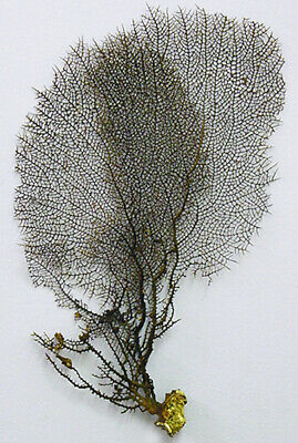 """Real Dried Black Sea Fan - Seafan Coral  9"""" X 13"""" (Pictured)"""