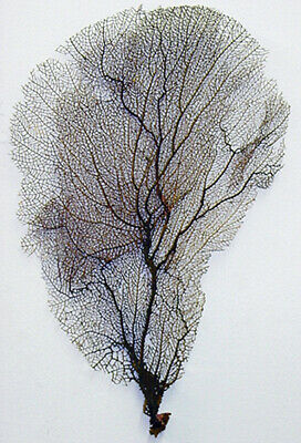 """Real Dried Black Sea Fan - Seafan Coral  9"""" X 14"""" (Pictured)"""