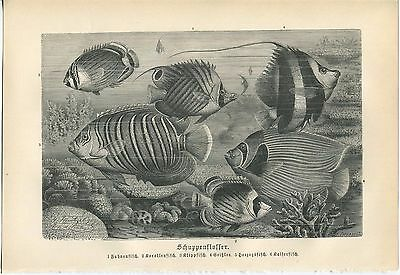 Antique Striped Fish Fishes Swimming Coral Reef Nautical Ocean Sea German Print